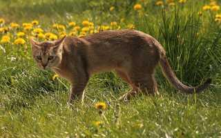 Чаузи – смесь абиссинской кошки и болотной рыси