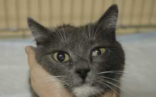 Птоз у кошек: лечение в домашних условиях, особенности терапии и профилактика