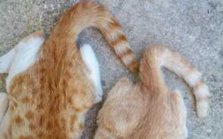 Болезни хвоста у кошек
