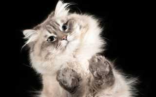 Почему у кошек появляются колтуны и как с ними бороться