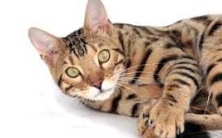 Бенгальская порода кошки