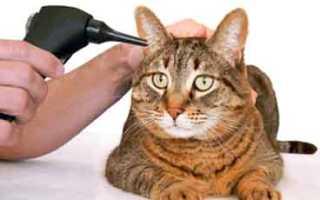 Болезни ушей у кошек: симптомы и лечение в домашних условиях