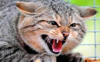 Бешенство у кошек: как распознать и можно ли вылечить?