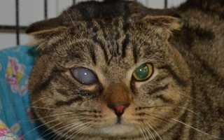 Как распознать и вылечить глаукому у кошек