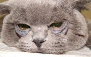 Заворот века (энтропион) у кошек