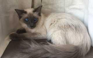 Балинезийская кошка: грациозная красотка с глазами цвета сапфира