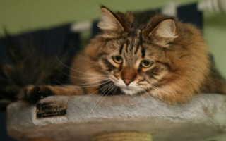 Опасный и непредсказуемый холецистит у кошек: правила лечения и питания