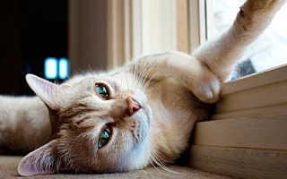 Бурмилла — кошка, покорившая всех своим взглядом