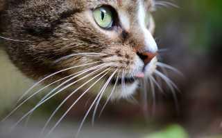 Для чего кошке усы: интересные факты о вибриссах