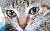 Причины и симптомы конъюнктивита у кошек и котят, лечение воспаления глаз в домашних условиях