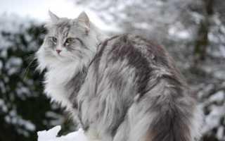 Норвежская лесная кошка: доброта, облаченная в нордический характер