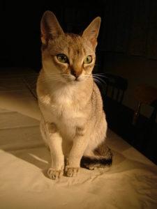 сингапура кошка
