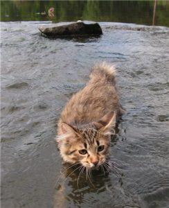 камчатский бобтейл плавает