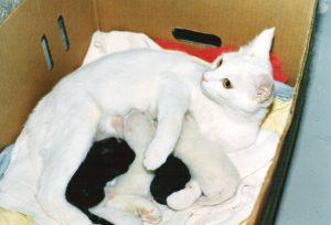 лечение болезни глаз у беременных кошек