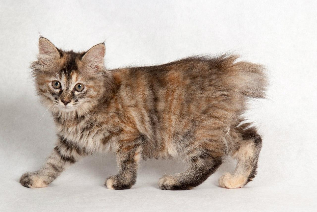 картинки кошки бобтейлы этой статье собраны