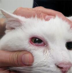 коньюктевит у кота