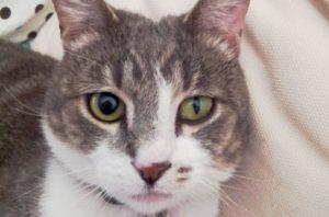 лагофтальм у кошек
