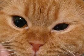 птоз у котов
