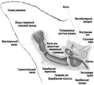 строение уха у кошек