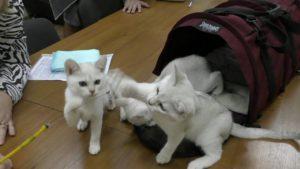 котята играются