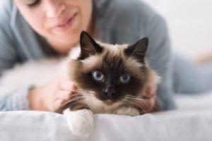 бирманская кошка и хозяин