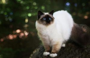 бирманская кошка на прогулке