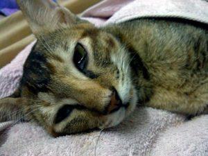 симптомы чумы у кошек
