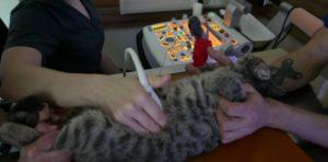 узи почек у кошки