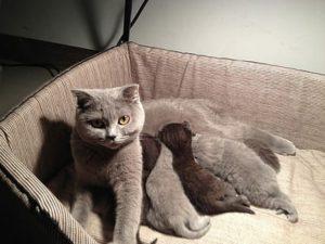 птоз у беременных кошек