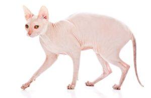 голый донской сфинкс