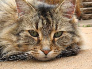 пожилой возраст кошки