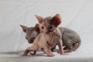 котята сфинксов