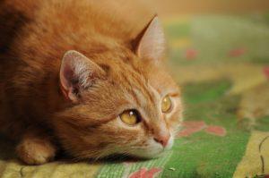 клича для рыжей кошки