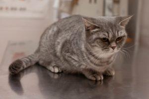 гидронефроз почек у кота