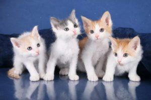 котята лаперм