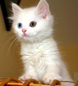 котенок ванской кошки