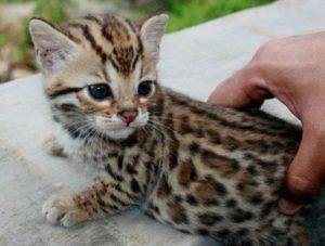 котенок сафари