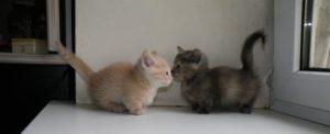 котята коротколапые