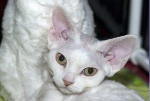 девон рекс кошка