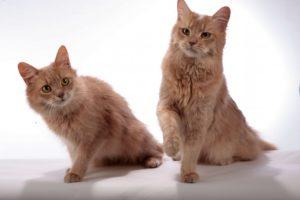 сомалийская кошка фавн
