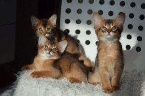 котята породы сомали