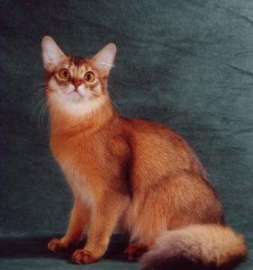 сомалийский кот медный