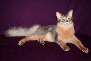 сомалийска кошка голубая