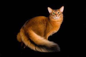 сомалийский кот окраса ruddy