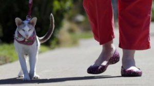 яванская кошка гуляет на поводке