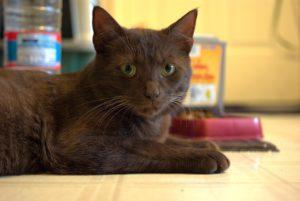 кот породы гавана браун