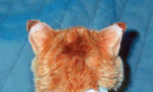 обморожение ушей у кота